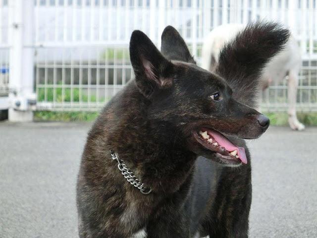 Giống chó Kai Inu – Nhật Bản