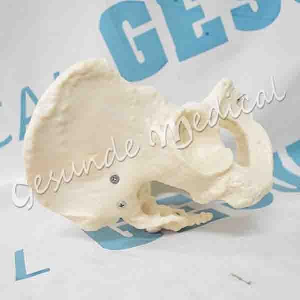 toko torso anatomi organ tubuh panggul wanita