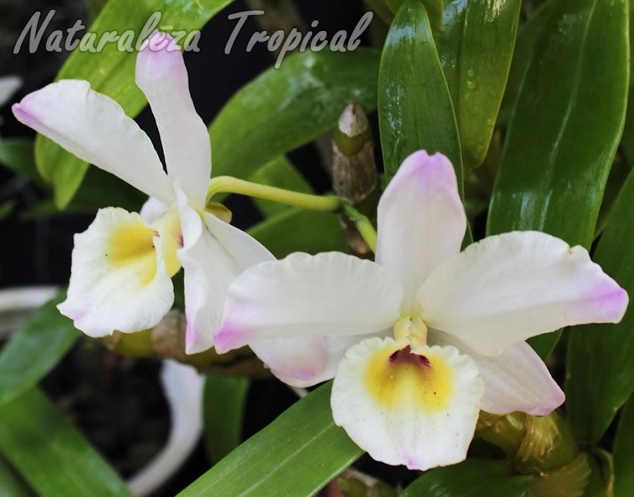 Orquídea Dendrobium sp