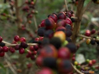 Vara de grãos de café maduros
