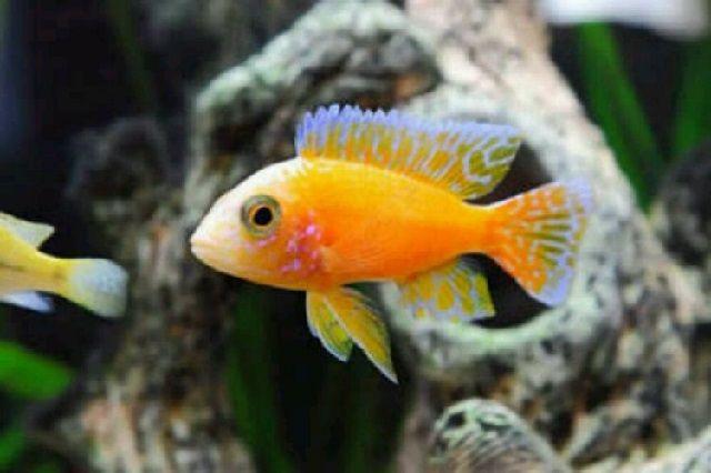 Hama dan Penyakit Ikan Hias