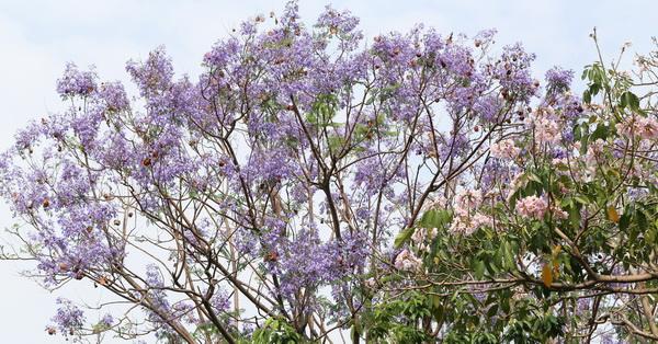 台中北屯|松勇公園和景美公園的藍花楹花開,藍紫色花毯也漂亮