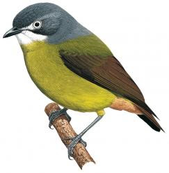 Green-backed Robin