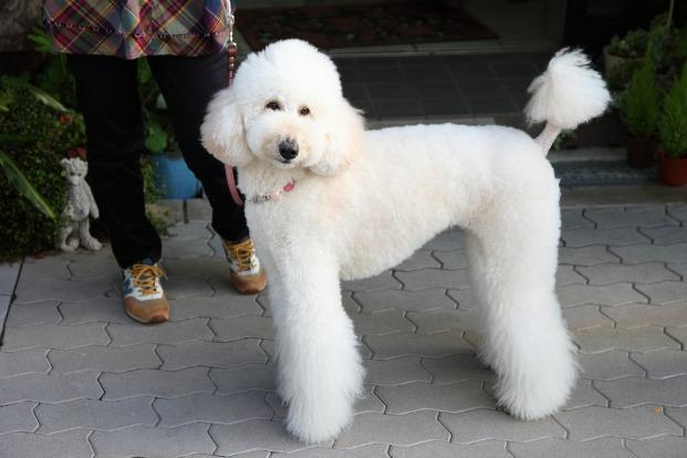 Top 10 Pampered Dog Breeds