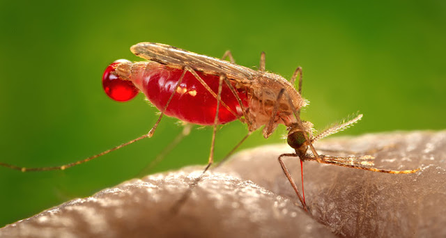 Mosquito has survived everywhere in the world causing malaria except in Antarctica.
