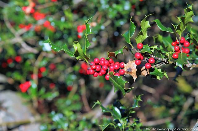 Houx Commun Ilex aquifolium Fontainebleau