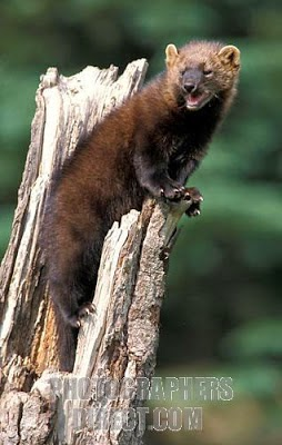 american mammals Fisher