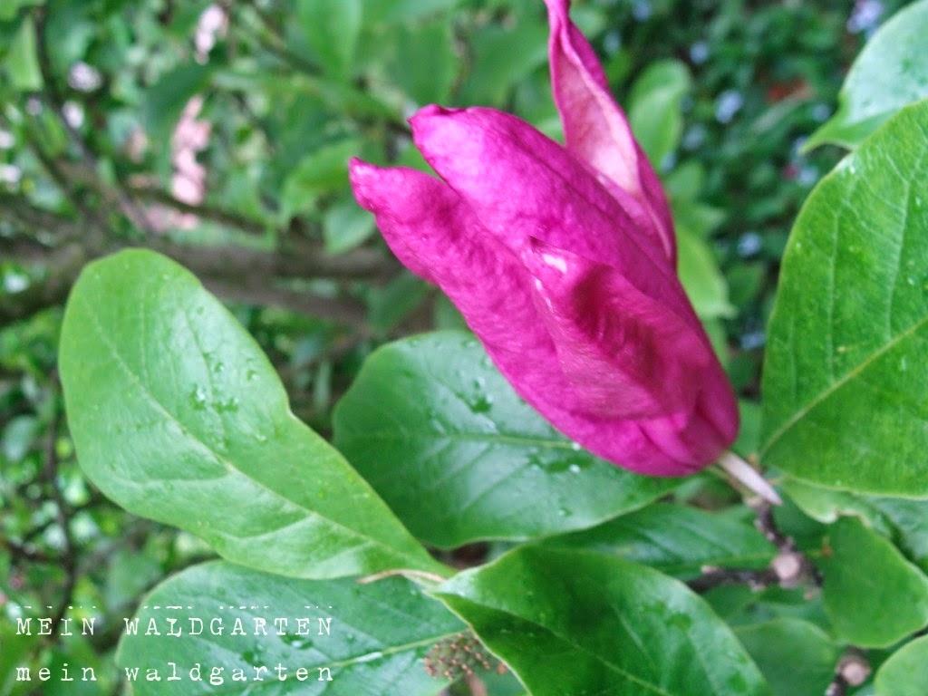 Magnolie Kleinwüchsig mein waldgarten was mache ich mit dem magnolien austrieb