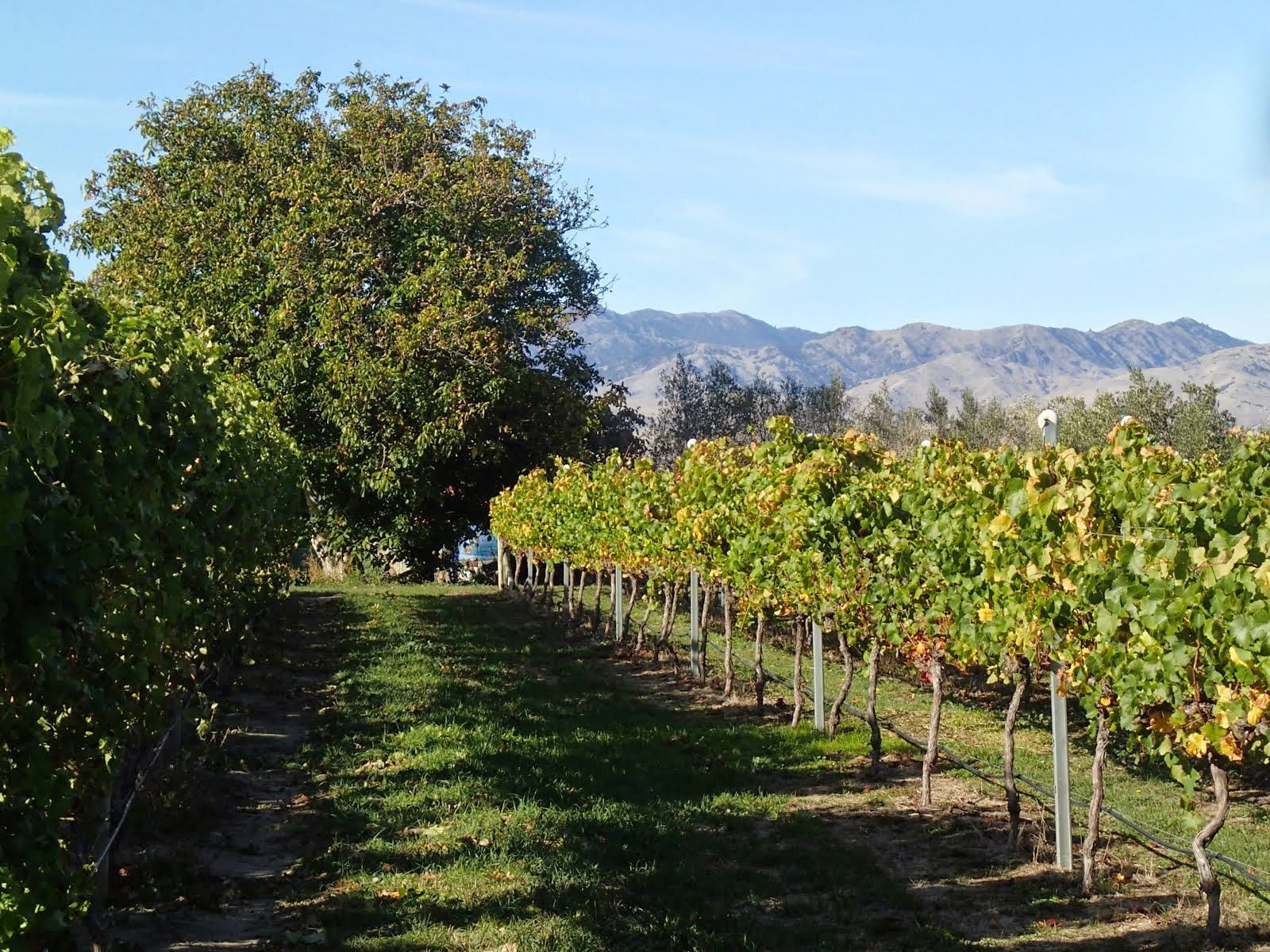 Looking down a row of vines to one of the walnut trees and the dry Wairau Hills