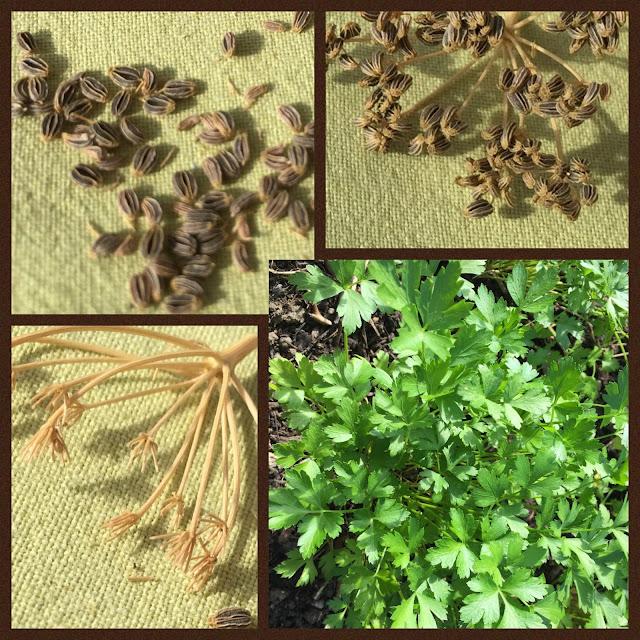 Petersilie Collage vom Kraut zu den Samen