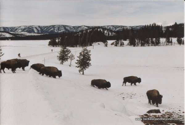 buffalo in snow at Yellowstone National Park