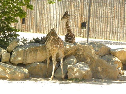 giraffe, rio grande zoo, albuquerque zoo