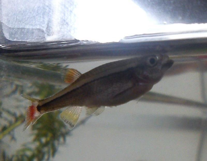 Gambar Ciri Ciri Ikan Hias sakit Atau Stres-Ikan Megap Megap Dipermukaan air