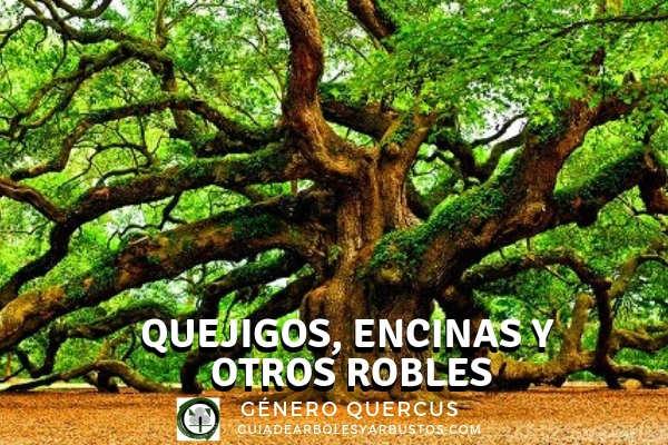 Los robles son arboles productores de bellotas ( género Quercus) como las encinas, alcornoques, carrasca, etc.
