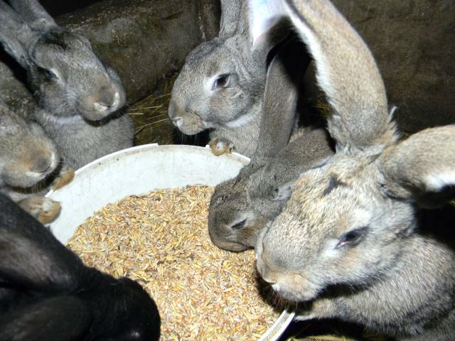króliki zgodnie korzystają z wystawionego im pożywienia