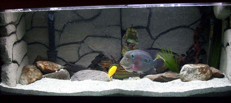 Flowerhorn The Hybrid Cichlids: Flowerhorn Aquarium Setup