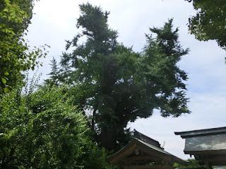 荏柄天神社の大銀杏