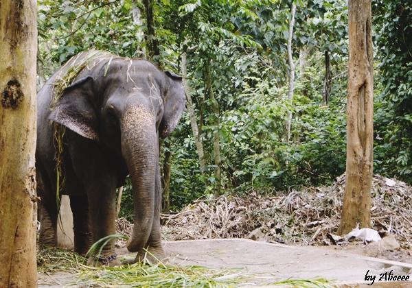 Elefanti-Sudul-Indiei