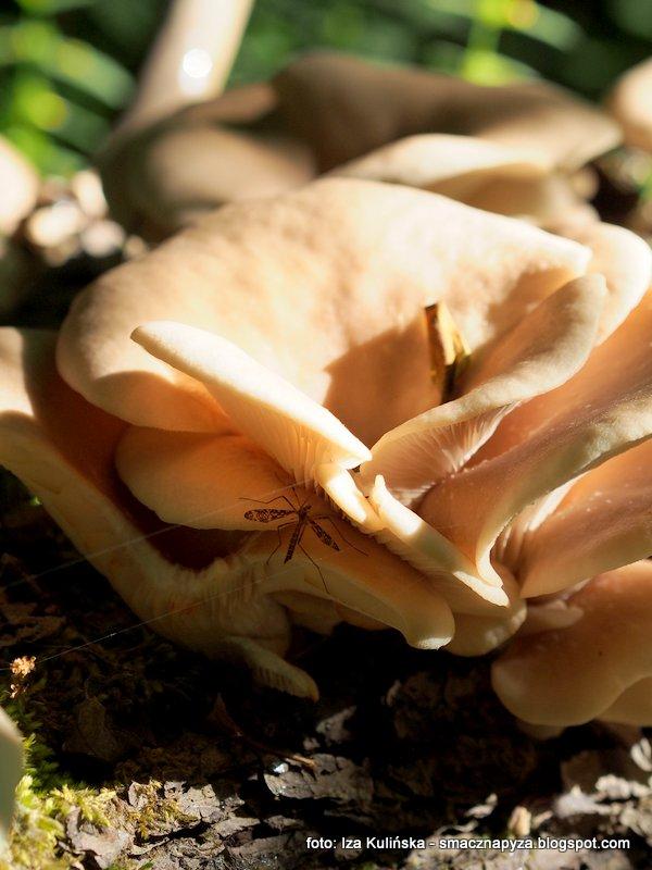 boczniaki rowkowanotrzonowe, lejkowate, muszlowate, kapelusz grzyba, owocnik, trzon z bruzdami, blaszki zbiegajace, atlas grzybow, grzybobranie, jaki to grzyb, rozpoznawanie grzybow