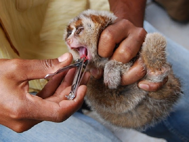 Lóris, com seu pelo macio, grandes olhos e aparência meiga e fofa, eles parecem bichos de pelúcia. No entanto, esses são os únicos primatas venenosos do mundo. Uma só mordida do animal é capaz de matar uma pessoa adulta.