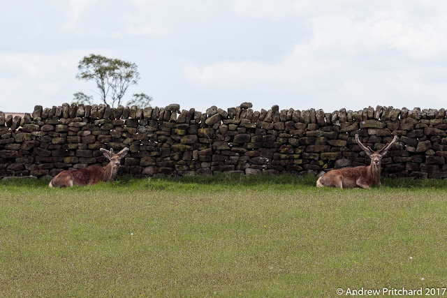 Two stags are resting in the lee of a dry stone wall, chewing the cud while their antlers regrow.