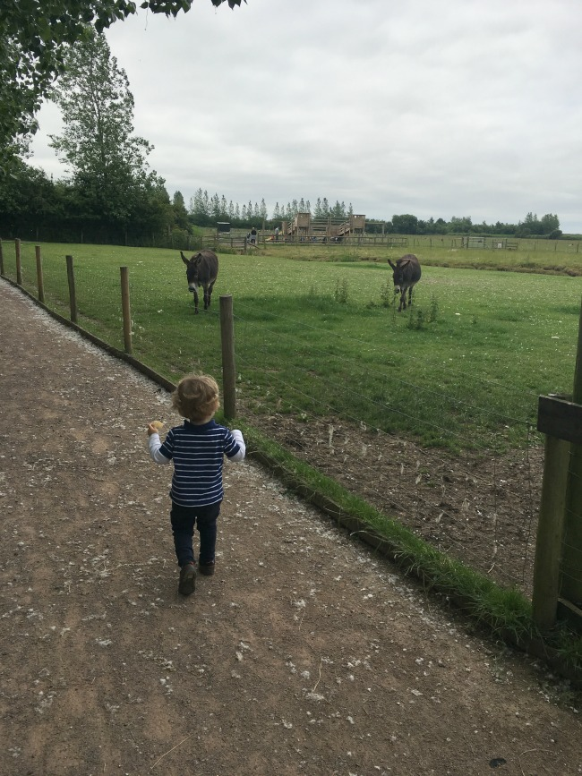 Walnut-tree-farm-park-A-Toddler-walking-towards-donkeys