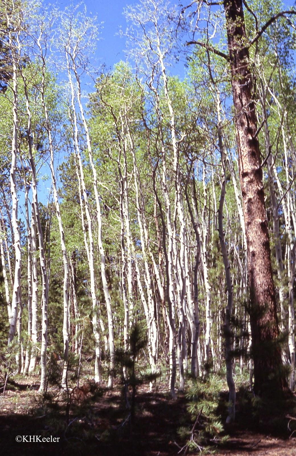 stand of aspen, Populus tremuloides
