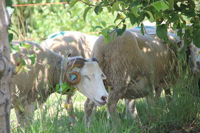 Coleiras 'ensinam' a comer só as ervas daninhas nas vinhas