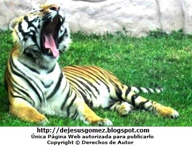 Foto del tigre bostezando en el Parque de las Leyendas. Foto del tigre de Jesus Gómez