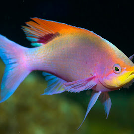 Koleksi Gambar Ikan Hias Cantik 2013  Gambar Keren dan