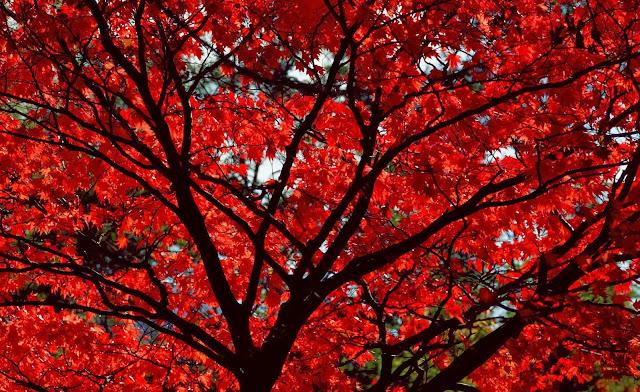Herfst achtergrond met boom met rode bladeren
