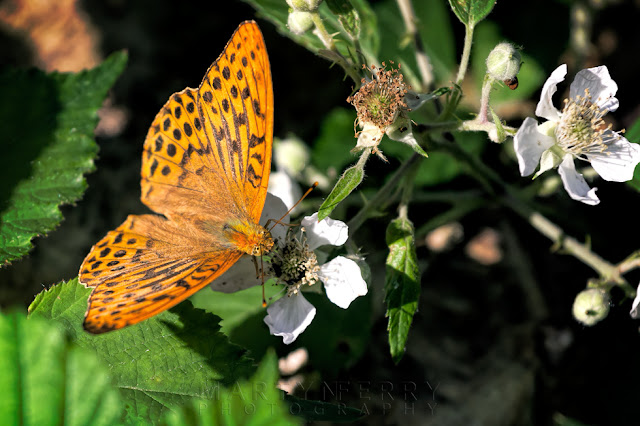 Macro photograph of a Male Silver-washed fritillary in the nature reserve of Holme Fen