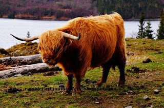 Hamish, the Highland cow, Scotland