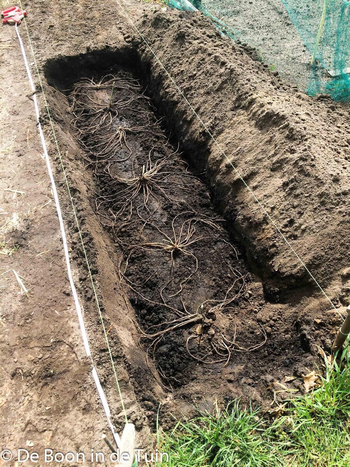 asperges aspergebed aanleggen moestuin volkstuin aspergeklauwen