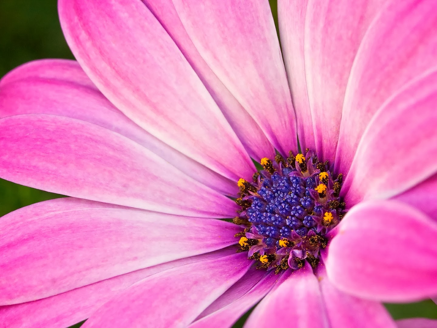 Hot Pink Flower Background | HD Wallpapers