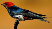 Swallow bird pictures_Creagrus furcatus