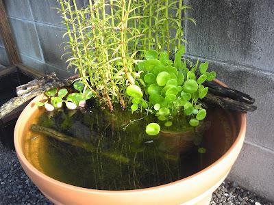 睡蓮鉢のビオトープ 秋