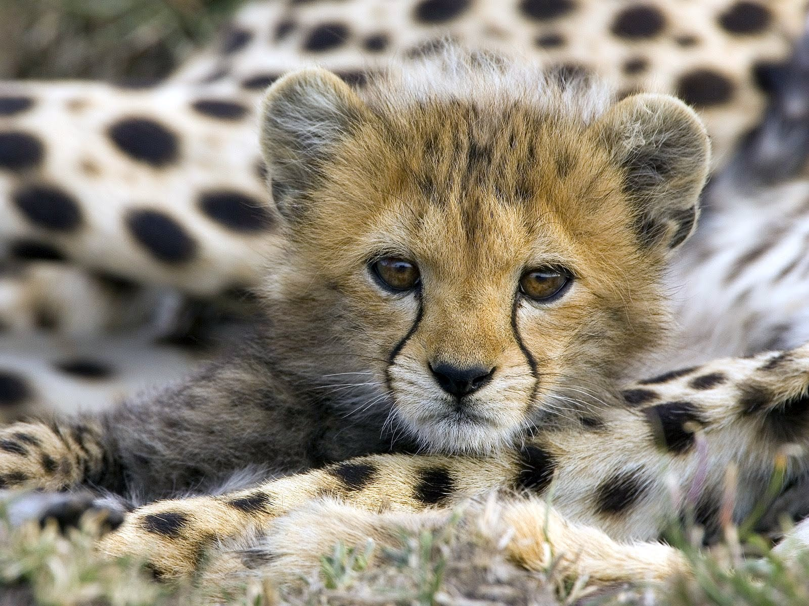Animal Wallpaper Little Cheetah