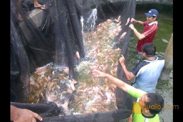 Cara Memasarkan Ikan Nila