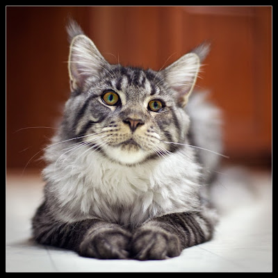 Stalone, the maine coon, 7 months