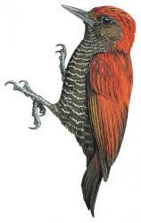 Veniliornis sanguineus