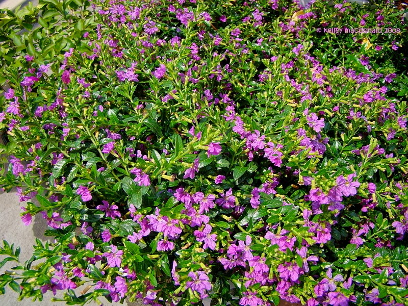 mexican garden design.  Amazing Mexican Heather a Fail Proof Plant