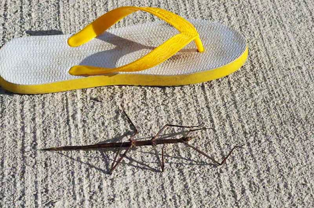flip-flop, large insect, Walking stick, bug