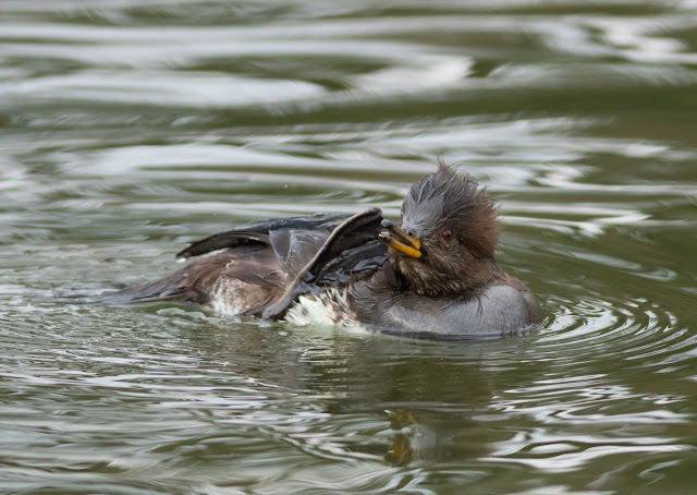 Hooded Merganser - Corsham Lake, Wiltshire