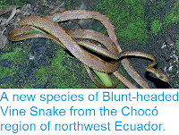 http://sciencythoughts.blogspot.co.uk/2014/04/a-new-species-of-blunt-headed-vine.html