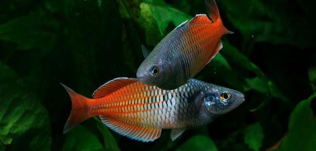Ikan Rainbow - Cara Budidaya Ikan