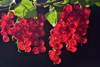usaha yang menguntungkan di desa, bisnis yang menguntungkan di desa, usaha perkebunan, bisnis buah-buahan, buah anggur, kebun anggur, anggur merah, buah segar