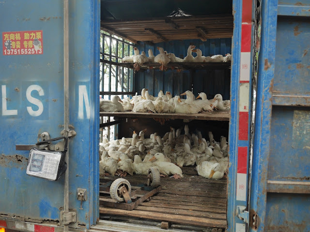 ducks restrained in a truck