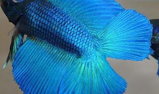 Ikan Cupang doubletail