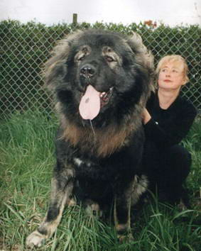 Caucasian Shepherd Dog can fight with bear and wolfs very aggressive and fearless dog